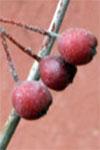 Aronia - Niche Crops